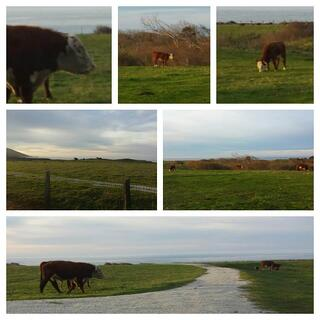 Big_Sur_cows.jpg